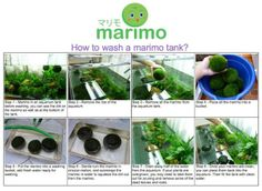 Marimo chan: How To a Wash Marimo Tank