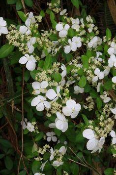 Hydrangea luteovenosa