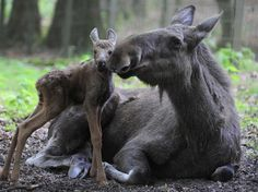Moose mother with baby! Guided wildlife watching tours and holidays near Stockholm in Sweden with www.wildsweden.com