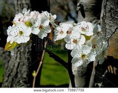 White pear blossoms signal the arrival of spring. ©Photo copyright by Marty Nelson. Photographer website: http://www.bigstockphoto.com/search/?contributor=Marty+Nelson+Photo+Art&safesearch=n
