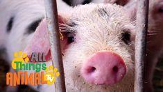 43e21b2fa333 Die 85 besten Bilder von Schweine in 2019 | Ferkel, Kleine Schweine ...