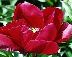 Lord Kitchener - Early Lactiflora, Single red, intense  bright maroon-red flowers, many flowers, one of the finest red singles, (Kelway 1929). www.peonyshop.com