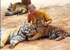 "Thailand's famous ""Tiger Temple,"" a monastery and wildlife sanctuary a few hours outside of Bangkok that's home to 147 roaming tigers and other animals, is being forced to give up its tigers."