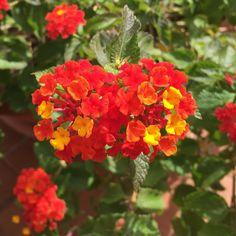 Se riuscissimo a catturare con gli occhi tutte le bellezze che la natura ci offre, avremmo una più bella visione del mondo. In foto: fiore di lantana.  #meravigliosanatura #lantana #fiori #colori #nofiltri