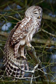 Barred Owl #Barred #Owl