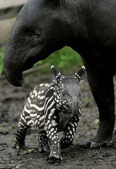 baby tapir ...so cute