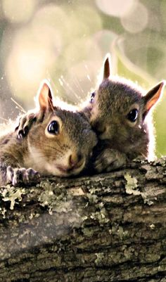 Squirrels know each other - they know what troop they belong to and where each troops territory begins and ends. Interlopers from another area are chased off and males will try to bite the testicles of other males that do not belong in their territory. Females are not real welcoming of non troop members as well - she'll run and resist until one her members comes to her rescue.