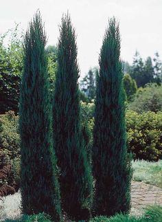 Blue Arrow Juniper Growth Rate