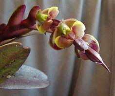 Epidendrum allochronum