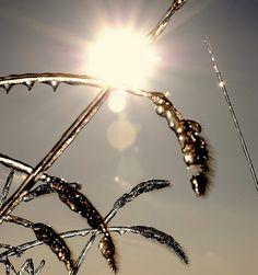 Wheat on ice.  2007 ice storm in Nebraska.