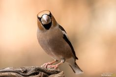 Hawfinch by Jose D. Romero on 500px
