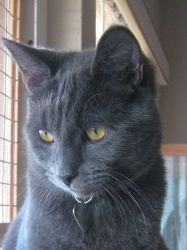 Max is an adoptable Russian Blue Cat in San Diego, CA. A truly gorgeous Russian blue mix kitty saved from a super high kill shelter at the last moment, a little over one year old, very personable, pla...