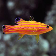 Deepwater candy basslet
