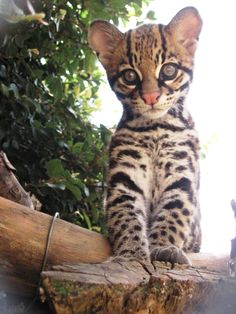"""Since 2010, three Brazilian Ocelot kittens (females """"Milagre,"""" """"Ayla,"""" and """"Revy"""") have been produced using artificial insemination (AI) techniques developed and performed by scientists from the Cincinnati Zoo's Center for Conservation & Research of Endangered Wildlife (CREW). Learn much more at ZooBorns! http://www.zooborns.com/zooborns/2016/04/brazilian-ocelot-births-help-conservation-and-research-.html"""