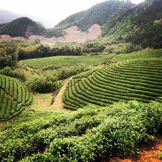 Longjing garden, Hangzhou, China www.josephwesleytea.com