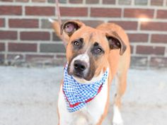 INDY - A1086373 - - Brooklyn  Please Share:TO BE DESTROYED 09/04/16 **MULTIPLE TIMES ON LIST**  A volunteer writes: The name Indy conjures up racetracks, fast cars, and tons of speed. While our Indy may be in NYC, he is definitely a fast paced, high velocity type of guy! Indy was surrendered because his owner is moving and can no longer keep him. In his previous home, he spent time with children ages 3 and up and did well with them, though at times he could play a bit rough