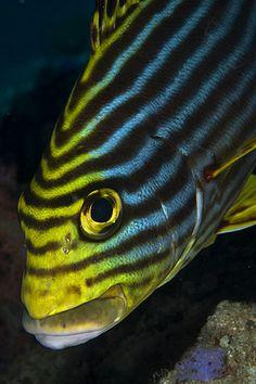 Oriental SweetlipsOp ,tropische vissen ben ik zeker wel erg gek,want wat zijn die vissen toch mooi met die prachtige kleuren.