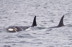 New calf in J Pod! Most likely. J52. @James Mead Maya