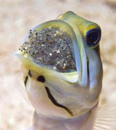 Jawfish protecting it's babies....wow...
