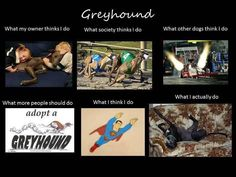 April = Greyhound Adoption Month!