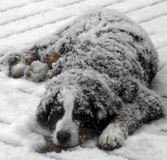 My Berner will do this when it snows too. - He absolutely loves the snow. Great site for information on BMDs and how to take care of them. Please don't consider getting a BMD unless you live someplace where it never gets too terribly hot.