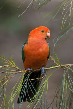 King Parrot, Alisterus scapularis, Australia (so beautiful, isn't it! Different Birds, Kinds Of Birds, All Birds, Love Birds, Exotic Birds, Colorful Birds, Pretty Birds, Beautiful Birds, Parrot Bird