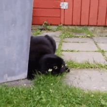 Zabriskie Point - onlylolgifs: Kitty getting ready for a hunt