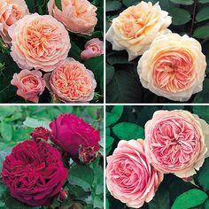 David Austin  english roses for the garden