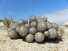 Copiapoa, Cactus de Chile: https://www.facebook.com/media/set/?set=a.4851717603539.2176677.1014978408&type=1&l=b52eefba6a