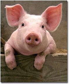 Baby Pig Pictures ~ Animal Pictures Gallery This. Farm Animals, Animals And Pets, Funny Animals, Cute Animals, Pink Animals, Baby Pigs, Cute Pigs, Tier Fotos, Little Pigs