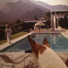 Baxter admiring Neutra. #kaufmannhouse #neutra #PalmSprings #toyfoxterriersofinstagram #blinddog #slimaarons