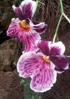 Orchid  Orquideas de Colombia