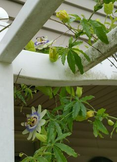 Great shot of these two Passion Flowers