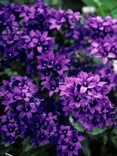 Campanula Type: Perennials Height: Medium 1-2 (Plant 14 apart) Bloom Time: Late Spring to Summer Sun-Shade: Full Sun to Half Sun/ Half Shade Zones: 3-8 Find Your Zone Soil Condition: Normal, Clay Flower Color / Accent: Purple / Purple