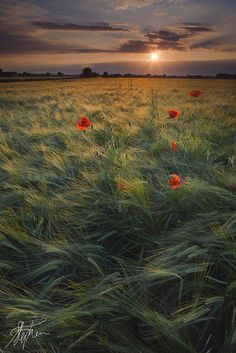 Poppies at Sunset, Yorkshire, Britain,UK (by Pixelda).  Oh, how I'd love to stand in the midst of this field and feel that breeze.