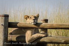 """""""We watched with so much interest as our lions used the bridge to cross from one side of the island to the other. As usual the cubs were very playful. Okavango Delta, Big Cats, Cubs, Lions, Wilderness, Safari, This Is Us, Bridge, Camping"""