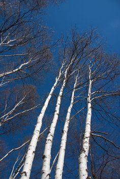 Birch Sky Mural - Gale Fitzsimmons| Murals Your Way