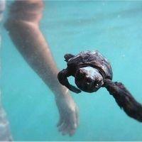 25charles wheeler_swimming with turtles.jpg
