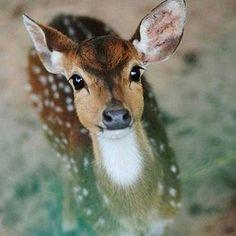 Beautiful fallow deer