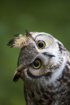 Great Horned Owl - Photographed By Darrel Gulin. Beautiful Owl, Animals Beautiful, Cute Animals, Owl Photos, Baby Owl Pictures, Great Horned Owl, Owl Bird, Owl Cat, Tier Fotos