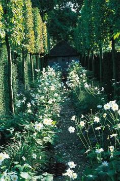 White Japanese anemones under pleached limes or hawthorne. Layering of hedges to give depth in a small space.