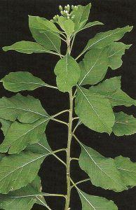 Propriedades Fitoenergeticas das plantas