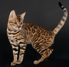 Bengal Cats Bengal cat that my boyfriend wants sooo bad lol - Cute Animals Images, Animals And Pets, Baby Animals, Silly Cats, Cats And Kittens, Big Cats, Beautiful Cats, Animals Beautiful, Beautiful Creatures