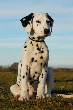 i love dalmatians | Dalmatian | Essendon Vet Clinic