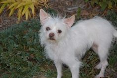 Prissy is an adoptable Maltese Dog in Medfield, MA. Prissy is a two year old Maltese/Chihuahua mix.  She weighs a mere 7 pounds and is as sweet as they come.  Prissy is leash trained and is currently ...