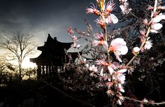 Credit: Mark Ralston/AFP/Getty Images Cherry blossom trees in bloom in front of a pagoda in Yuyuan Tan park, Beijing