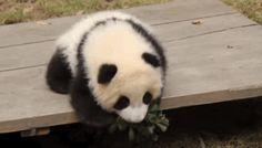 Panda gif(2)