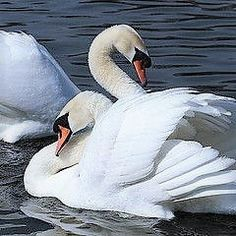 Another shot of this swan couple . love the laid back neck curve of the front one. Swan Love, Beautiful Swan, Beautiful Moments, Beautiful Birds, Cygnus Olor, White Pigeon, Mute Swan, All Birds, Bird Feathers