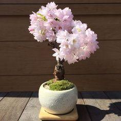 満開が見事!一才桜の情景盆栽【鉢色を3色から選べます】 送料無料 J0030 盆栽 苔玉の通販サイト インテリア盆栽工房BonCyu
