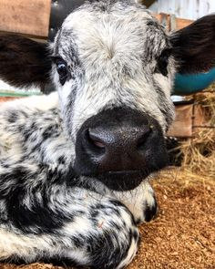 Baby Farm Animals, Baby Cows, Cute Little Animals, Cute Funny Animals, Animals And Pets, Baby Elephants, Wild Animals, Cute Creatures, Beautiful Creatures